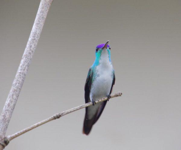 (Amazilia franciae) RNA Reinita Cielo Azul san tander