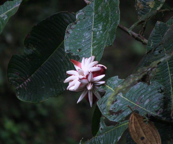 CLUSIA MULTIFLORA, RNA LAS TANGARAS, OCTUBRE 2010