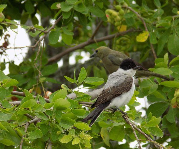 Monitoreo aves migratorias RNA Reinita Cielo Azul
