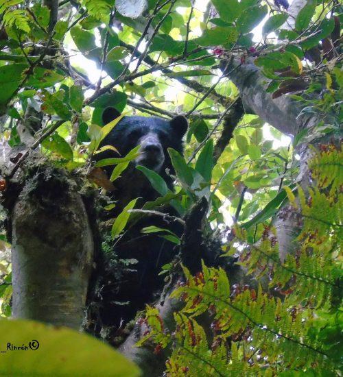 Oso de Anteojos (Tremarctos ornatus),