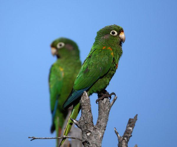 Periquito de Santa Marta, Santa Marta parakeet (Pyrrhura viridicata)